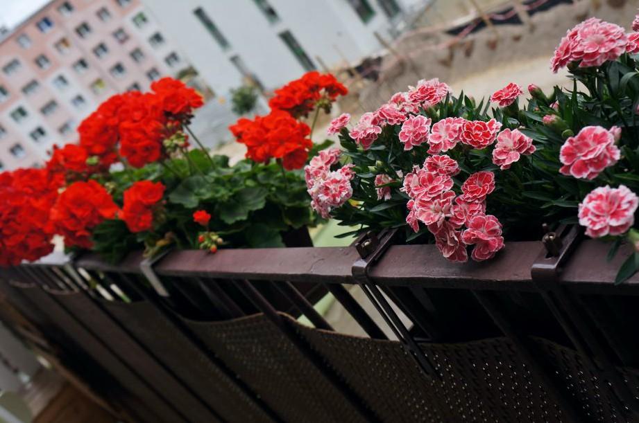 różyczki na balkonie